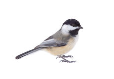 Black-capped Chickadee, Poecile atricapilla, Isolated Royalty Free Stock Image