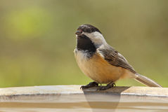 Black-capped Chickadee, Poecile atricapilla Royalty Free Stock Photography