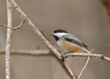 Black-capped Chickadee, Poecile atricapilla Stock Photo