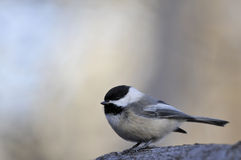 Black capped chickadee: Poecile atricapillus Royalty Free Stock Image
