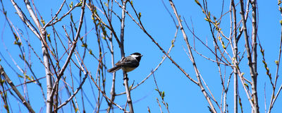 Black-capped Chickadee (Poecile atricapillus). Perched in a thicket of willows Royalty Free Stock Image