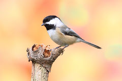 Black-capped Chickadee (Poecile atricapillus). Perched with a fall colors Royalty Free Stock Image