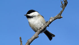Black-capped Chickadee, Poecile atricapillus. A cute, small,common non-migratory songbird perched on a branch  against a blue background Stock Photography