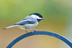 Black-capped Chickadee (Poecile atricapillus). The Black-capped Chickadee (Poecile atricapillus) is a small, common songbird, a passerine bird in the tit family Royalty Free Stock Image