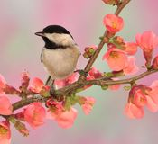 Black-capped Chickadee (Poecile atricapillus). A springtime Black-capped Chickadee on a flowering Quince branch stock images