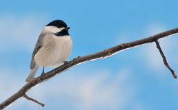 Black- capped Chickadee (Poecile atricapillus) Royalty Free Stock Images