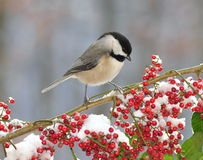 Black- capped Chickadee (Poecile atricapillus). An adorable Black- capped Chickadee on a snowy winter branch laden with bright red berries stock image