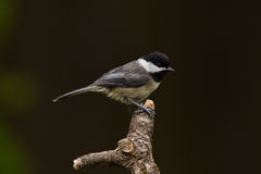 Black-capped Chickadee (Poecile atricapillus). The Black-capped Chickadee (Poecile atricapillus) is a small, common songbird, a passerine bird in the tit family Royalty Free Stock Photography