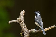 Black-capped Chickadee (Poecile atricapillus). The Black-capped Chickadee (Poecile atricapillus) is a small, common songbird, a passerine bird in the tit family Stock Image