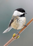 Black Capped Chickadee - Poecile atricapillus Royaltyfria Bilder