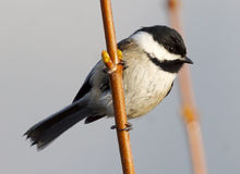 Black Capped Chickadee - Poecile atricapillus Stock Image