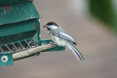 Chickadee, Black Capped Poecile atricapillus Royalty Free Stock Image