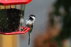 Chickadee, Black Capped Poecile atricapillus Royalty Free Stock Photo