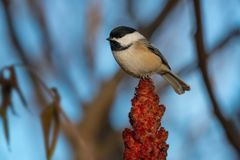 Black-capped Chickadee - Poecile atricapillus royalty free stock image