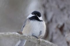 Black-capped Chickadee Poecile atricapillus. Sitting on tree branch royalty free stock photo