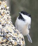 Black Capped Chickadee Or Poecile Atricapillus. Feeding on bird seed in winter Royalty Free Stock Photos