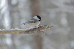 Black-capped Chickadee Poecile atricapillus. On a tree branch royalty free stock photography