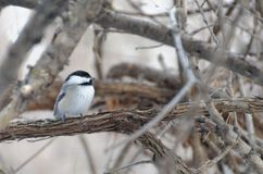 Black-capped Chickadee Poecile atricapillus royalty free stock photos