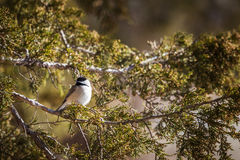 Black Capped Chickadee Poecile atricapillus on a cedar branch Stock Photography