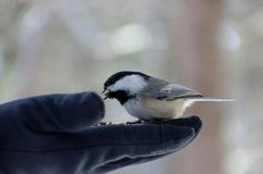 Black-capped Chickadee Poecile atricapillus stock photography