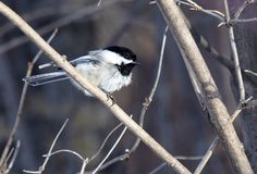 Black Capped Chickadee Or Poecile Atricapillus. Feeding on bird seed in winter stock photography