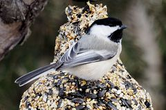 Black Capped Chickadee Or Poecile Atricapillus. Feeding on bird seed in winter Stock Images