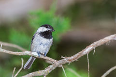 Black Capped Chickadee Poecile atricapillus Stock Photography