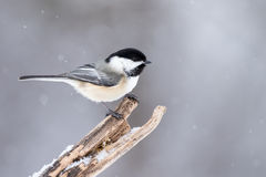 Black-capped Chickadee - Poecile atricapillus Royalty Free Stock Photos