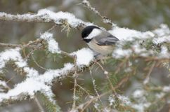 Black-capped Chickadee Poecile atricapillus. Perched in an evergreen tree in winter royalty free stock photos