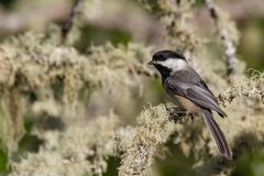 Lookout. Black-capped Chickadee Poecile atricapillus perched on a lichen covered branch. Oregon Stock Photo