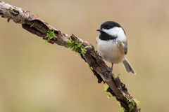 Black-capped Chickadee, Poecile Atricapillus Royalty Free Stock Photography
