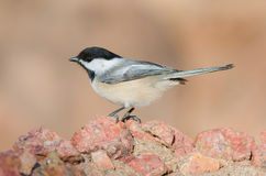 Black-capped Chickadee (Poecile atricapillus). Black-capped Chickadee perched on rocks Stock Images