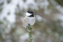 Black-capped Chickadee Poecile atricapillus. Perched on top of an evergreen tree in winter royalty free stock photos