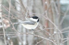Black-capped Chickadee Poecile atricapillus. Perched in a tree as snow falls in winter royalty free stock photos