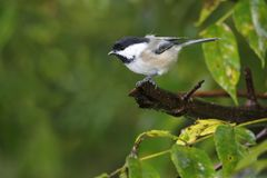 Black-capped Chickadee Poecile atricapillus perched on a tree branch near a feeder station on a rainy day. A Black-capped Chickadee stands perched on a tree stock image