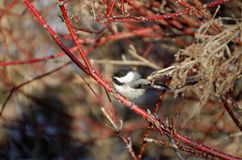 Black-capped Chickadee Poecile atricapillus. Perched in a tree in springtime royalty free stock photography