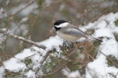 Black-capped Chickadee Poecile atricapillus. Perched in a tree in winter stock images
