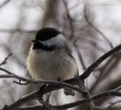Black Capped Chickadee Or Poecile Atricapillus Royalty Free Stock Photos