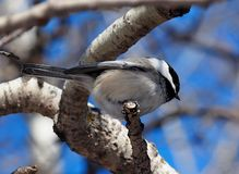 Black Capped Chickadee Or Poecile Atricapillus. On tree branch in winter royalty free stock images