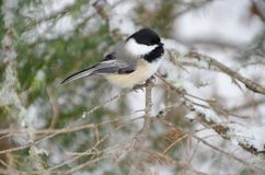 Black-capped Chickadee Poecile atricapillus. In winter stock image