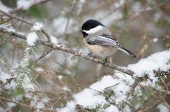 Black-capped Chickadee Poecile atricapillus. In Winter royalty free stock photography