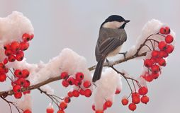 Black- capped Chickadee (Poecile atricapillus). A winter Black- capped Chickadee on a snowy hawthorn branch full of bright red berries Stock Photography