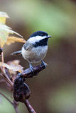 Black Capped Chickadee. Poses on a seed pod in between feeding Royalty Free Stock Images