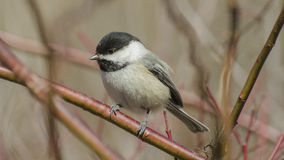 Black Capped Chickadee on a red twig shrub Royalty Free Stock Photography