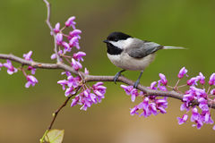 Black-capped Chickadee on Redbud. Black-capped Chickadee (Poecile atricapillus) perching on a Redbud Tree stock photo