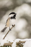Black-capped Chickadee. A Black-capped Chickadee singing in the snow stock photography