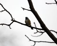 Black-capped chickadee singing on a tree branch in Michigan. During winter stock photo