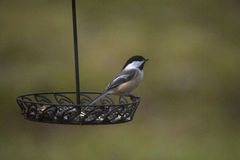Black Capped Chickadee Stock Photos