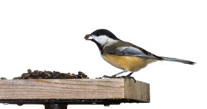Chickadee Eats a Sunflower Seeds. A black capped chickadee sits on top of a sunflower seed feeder. The chickadee's brilliant orange belly stands out royalty free stock photos