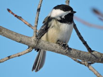 Black Capped Chickadee sitting on Bare Branch Stock Photo